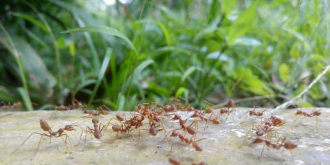How Do Fire Ants Affect Dogs?, Sutter Creek, California