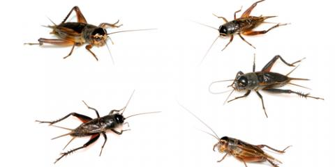 Cricket Control: 4 Useful Tips, Brookhaven, New York