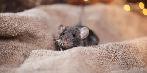 Do I Have a Mouse or Rat Infestation in My Home?, Rochester, New York