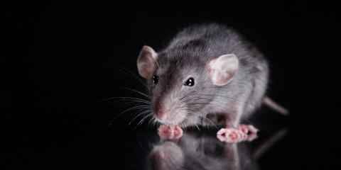 4 Rodent Control Tips From Pest Removal Experts, Statesboro, Georgia