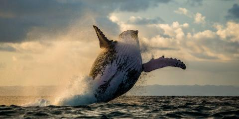 Why Do Humpback Whales Sing?, Ewa, Hawaii
