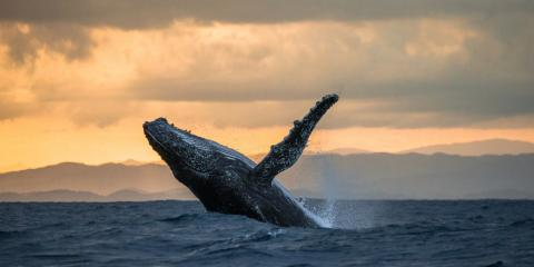 3 Fun Facts About Humpback Whales in Maui, Kihei, Hawaii