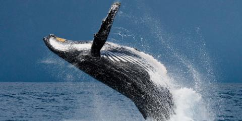 What You Should Know About Hawaii's Majestic Humpbacks for Your Whale Watching Adventure, Ewa, Hawaii