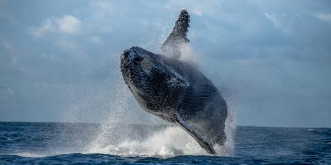 What You Can Expect During Whale Watching Season, Ewa, Hawaii