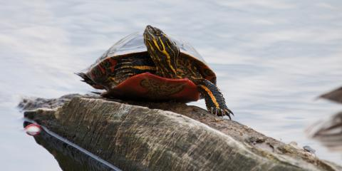 3 Pet Health Care Tips For Painted Turtles, Clarksville, Arkansas