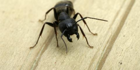 What Carpenter Ants Are & How You Can Prevent a Future Infestation , Oshkosh, Wisconsin