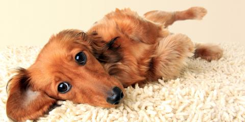 3 Health Reasons to Use Carpet Cleaning Services to Remove Pet Urine, ,