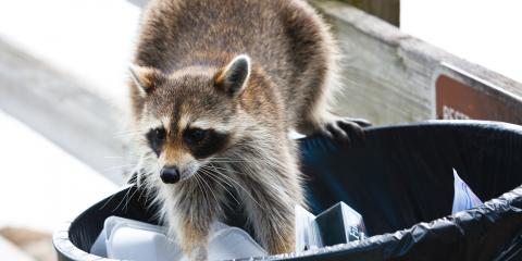 How Can Raccoons Get Inside Your House?, Dayton, Ohio