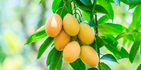 Why Should My Mango Tree Be Pruned?, Waialua, Hawaii