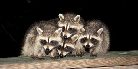 3 Steps to Take If You Have a Raccoon Infestation, St. Louis, Missouri