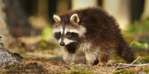 4 Ways to Identify Rabid Raccoons, New Milford, Connecticut