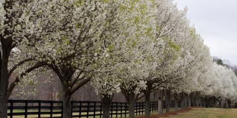 The Main Reasons Why Bradford Pear Trees Split, Oak Ridge, North Carolina