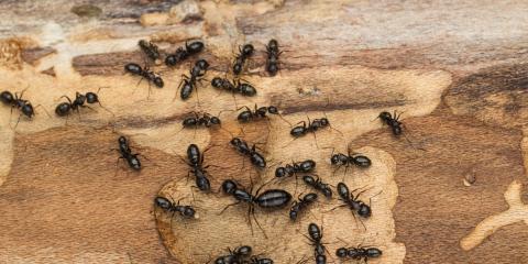 What's the Difference Between Termites, Ants & Beetles?, Wailuku, Hawaii