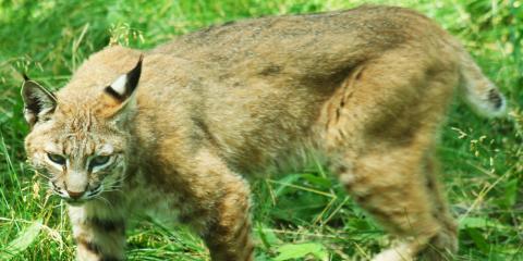 A Brief Guide to Bobcat Hunting, Carrollton, Kentucky