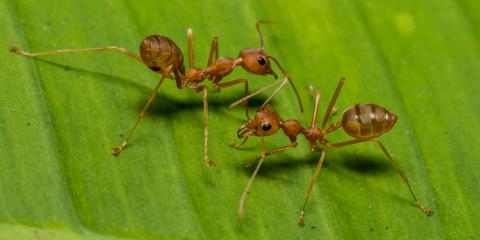 What Is the Difference Between Carpenter & Fire Ants?, Statesboro, Georgia