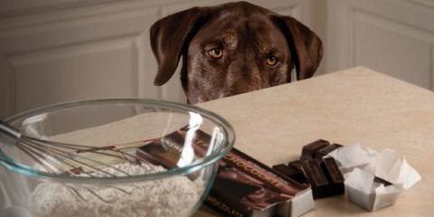 Waipahu's Veterinarians Explain Why You Should Keep Your Dog Away From Chocolate, Ewa, Hawaii