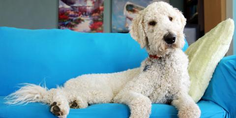 A Guide to Dog Grooming for Goldendoodles, Elizabethtown, Kentucky