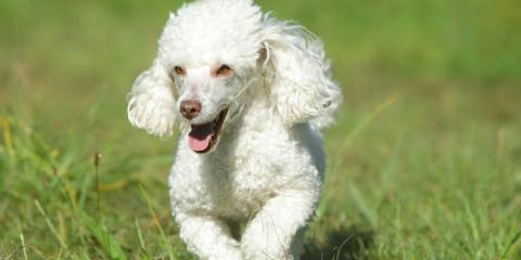 Top 5 Grooming Styles for Poodles, Lincoln, Nebraska