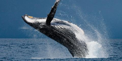 When Is the Best Time to Go Whale Watching in Hawaii?, Waianae, Hawaii