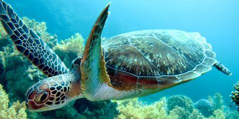 3 Surprising Facts About Hawaiian Green Sea Turtles, Waianae, Hawaii