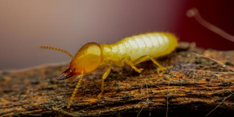 4 Facts to Know About Drywood Termites, Honolulu, Hawaii