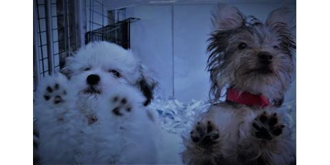 puppies for sales , Manhattan, New York