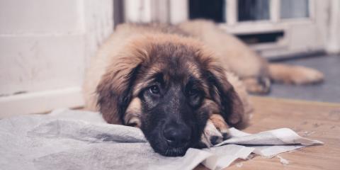 5 Carpet Cleaning Tips to Remove Pet Urine, Durango, Colorado