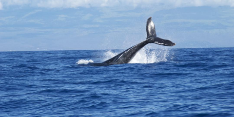 How to Understand the Meaning Behind Whale Songs, Kekaha-Waimea, Hawaii
