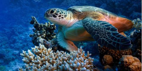 What You Need to Know About Hawaiian Green Sea Turtles, Kekaha-Waimea, Hawaii