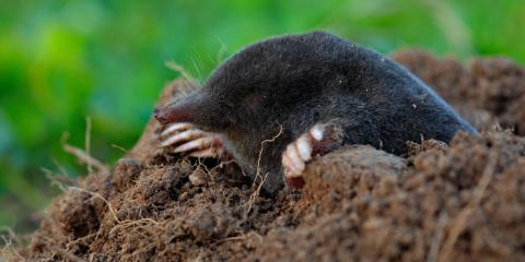 Busting the Top 5 Mole Control Myths, Elizabethtown, Kentucky