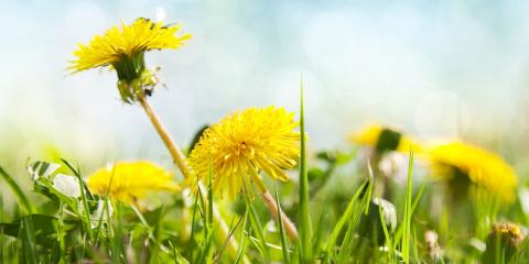Dandelion Problems? Try These Lawn Fertilization Solutions, Enterprise, Alabama