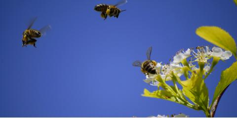 The Main Differences Between Carpenter & Bumble Bees, 10, Tennessee