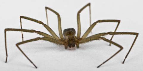 The Brown Recluse Spider: Why Worry? Exterminators Explain, Jefferson City, Missouri