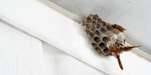 A Guide to Paper Wasps, Port Orchard, Washington