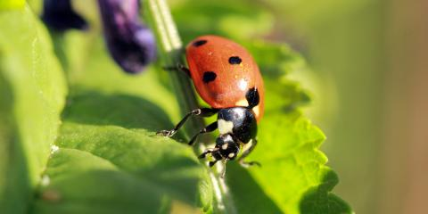 How to Prevent & Eliminate Asian Lady Beetles, Eagan, Minnesota