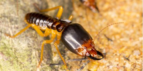 3 Fun Facts You May Not Know About Termites, Ewa, Hawaii