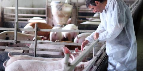 3 Valuable Tips for Feeding Show Pigs, Bethel, Ohio
