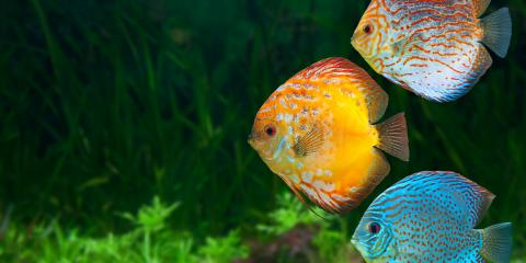 3 Types of Cichlids for Your Tank, Moraine, Ohio