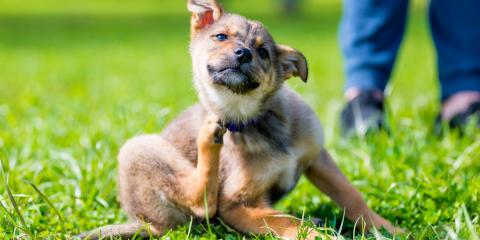 How Your Pet Can Have a Flea-Free Summer, Clarksville, Arkansas