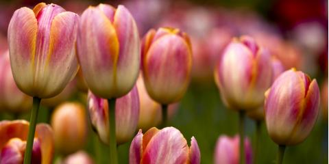 Hilton's Trusted Florist Explains How to Transfer Tulips to Your Garden, Parma, New York
