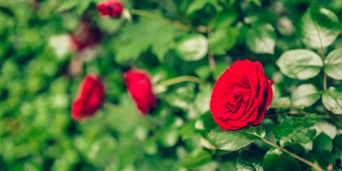 Leading Florists Offer Tips for Transplanting a Rose Bush, Parma, New York