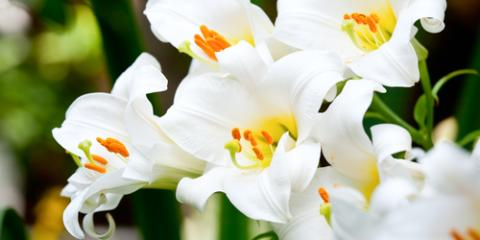Enterprise Florist Shares 3 Facts About the Easter Lilly, Enterprise, Alabama