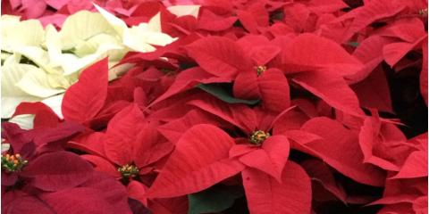 Pick Up a Pop of Color This National Poinsettia Day , Port Jervis, New York