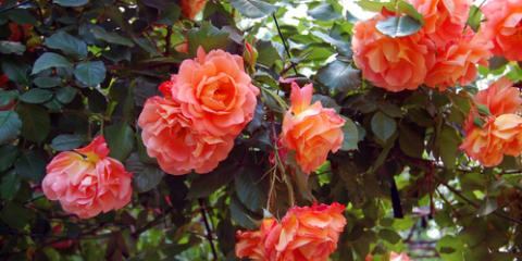 How to Incorporate Roses into the Backyard, Colerain, Ohio