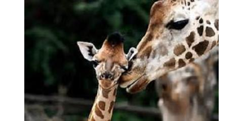 10 Fun Facts About Giraffs, Paint at the Park, ,