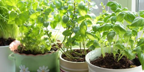 4 Tips on Starting an Indoor Herb Garden, Colerain, Ohio