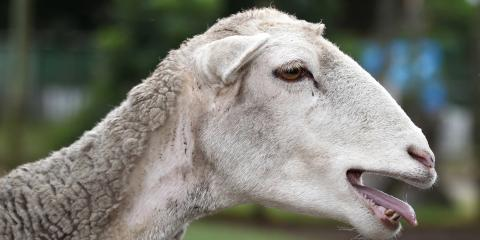 A Comprehensive Guide to Market Goat Showmanship, Seventy-Six, Iowa