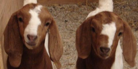 Nutrition & Feed Systems for Goats, Seventy-Six, Iowa
