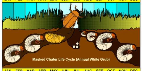 Life Cycle of Grubs, Columbus, Ohio