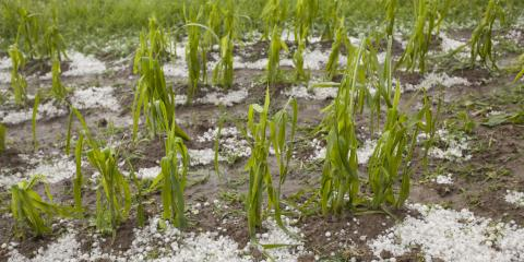 How to Assess Hail Damage on Crops, Beatrice, Nebraska